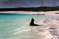 sea lion - Gardner bay - Galapagos